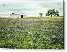 Texas Bluebonnets 6 Acrylic Print
