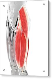 Thigh Muscles Acrylic Print by Sciepro/science Photo Library