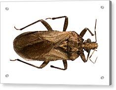 Triatomine Bug Acrylic Print by Science Photo Library