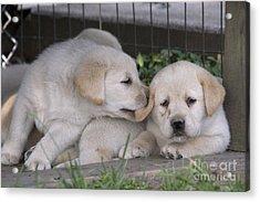 Yellow Labrador Retriever Puppies Acrylic Print by Linda Freshwaters Arndt