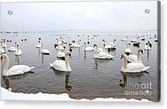 Acrylic Print featuring the  60 Swans A Swimming by Laurel Best