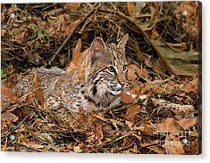 611000006 Bobcat Felis Rufus Wildlife Rescue Acrylic Print by Dave Welling