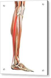 Leg Muscles Acrylic Print by Sebastian Kaulitzki/science Photo Library