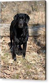 Black Labrador Retriever Acrylic Print by Linda Freshwaters Arndt