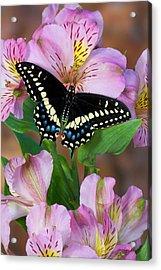 Black Swallowtail Butterfly, Papilio Acrylic Print by Darrell Gulin