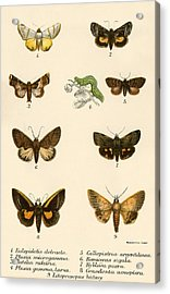 Butterflies Acrylic Print by English School
