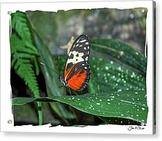 Butterflies Acrylic Print by Joe Oliver