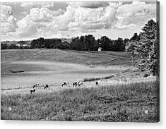 Cows Grazing On Grass In Farm Field Summer Maine Acrylic Print