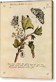 Erucarum Ortus Acrylic Print by Maria Sibylla Merian