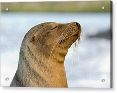 Galapagos Sea Lion Acrylic Print by William H. Mullins