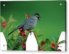 Gray Catbird (dumetella Carolinensis Acrylic Print by Richard and Susan Day
