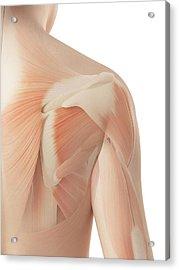 Human Shoulder Muscles Acrylic Print by Sebastian Kaulitzki