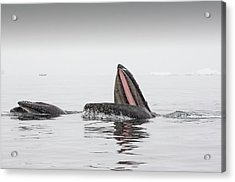 Humpback Whales Feeding On Krill Acrylic Print by Ashley Cooper