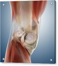 Knee Anatomy Acrylic Print by Springer Medizin/science Photo Library