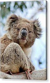 Koala (phascolarctos Cinereus Acrylic Print by Martin Zwick