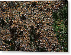 Monarch Butterflies Acrylic Print