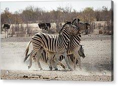 Namibia, Etosha National Park Acrylic Print