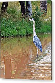 Blue Heron On The East Verde River Acrylic Print