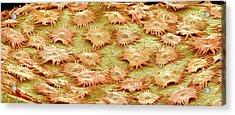Oleaster Leaf Trichomes Acrylic Print by Susumu Nishinaga