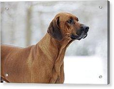 Rhodesian Ridgeback Dog Acrylic Print