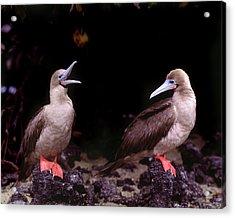 South America, Ecuador, Galapagos Acrylic Print