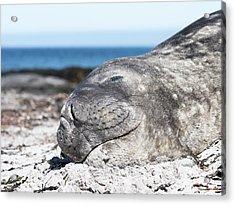 Southern Elephant Seal (mirounga Leonina Acrylic Print