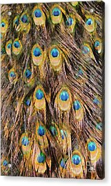 Tail Feathers Of Peacock Acrylic Print