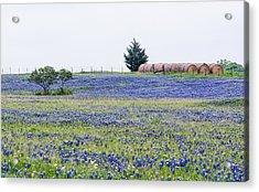 Texas Bluebonnets 5 Acrylic Print