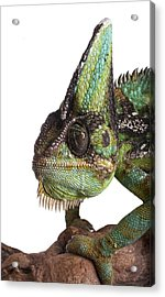 Veiled Chameleon Acrylic Print by Science Photo Library