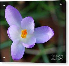 Vibrant Spring Crocus Acrylic Print