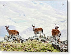Walia Ibex (capra Walie Acrylic Print