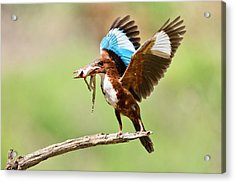 White-throated Kingfisher Acrylic Print by Photostock-israel