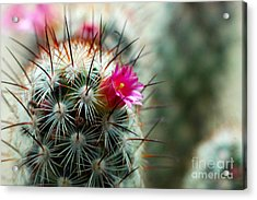 734a Tubular Cactus Flower Acrylic Print by NightVisions