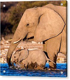 African Elephants Loxodonta Africana Acrylic Print by Panoramic Images
