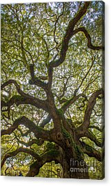 Island Angel Oak Tree Acrylic Print