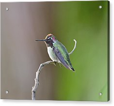 Anna's Hummingbird Acrylic Print by Kathy King