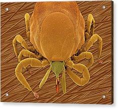 Deer Tick (ixodes Scapularis) Acrylic Print by Dennis Kunkel Microscopy/science Photo Library