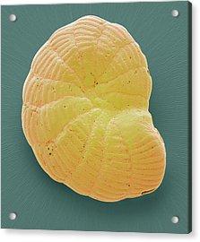 Foraminiferan Microfossil Acrylic Print by Steve Gschmeissner