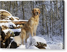 Golden Retriever In Snow Acrylic Print
