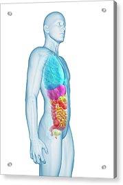 Human Internal Organs Acrylic Print