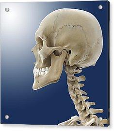 Human Skull, Artwork Acrylic Print by Science Photo Library