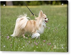 Long-haired Chihuahua Acrylic Print by Jean-Michel Labat