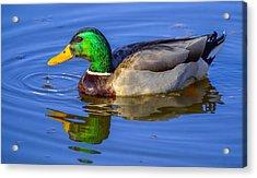 Mallard Duck Acrylic Print by Brian Stevens