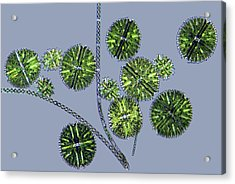 Micrasterias Desmids, Light Micrograph Acrylic Print by Science Photo Library