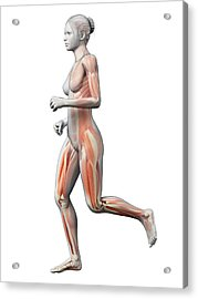 Muscular System Of Runner Acrylic Print by Sebastian Kaulitzki