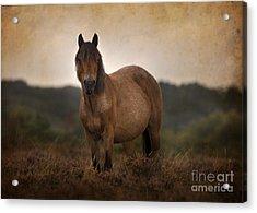 New Forest Pony Acrylic Print by Angel Ciesniarska
