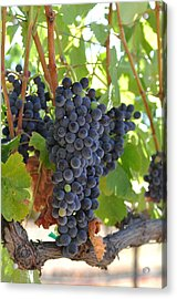 Red Grapes On The Vine Acrylic Print