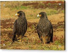 South America, Falkland Islands, Sea Acrylic Print by Jaynes Gallery