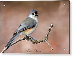 Tufted Titmouse Acrylic Print by David Lester