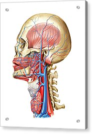 Venous System Of The Head And Neck Acrylic Print by Asklepios Medical Atlas